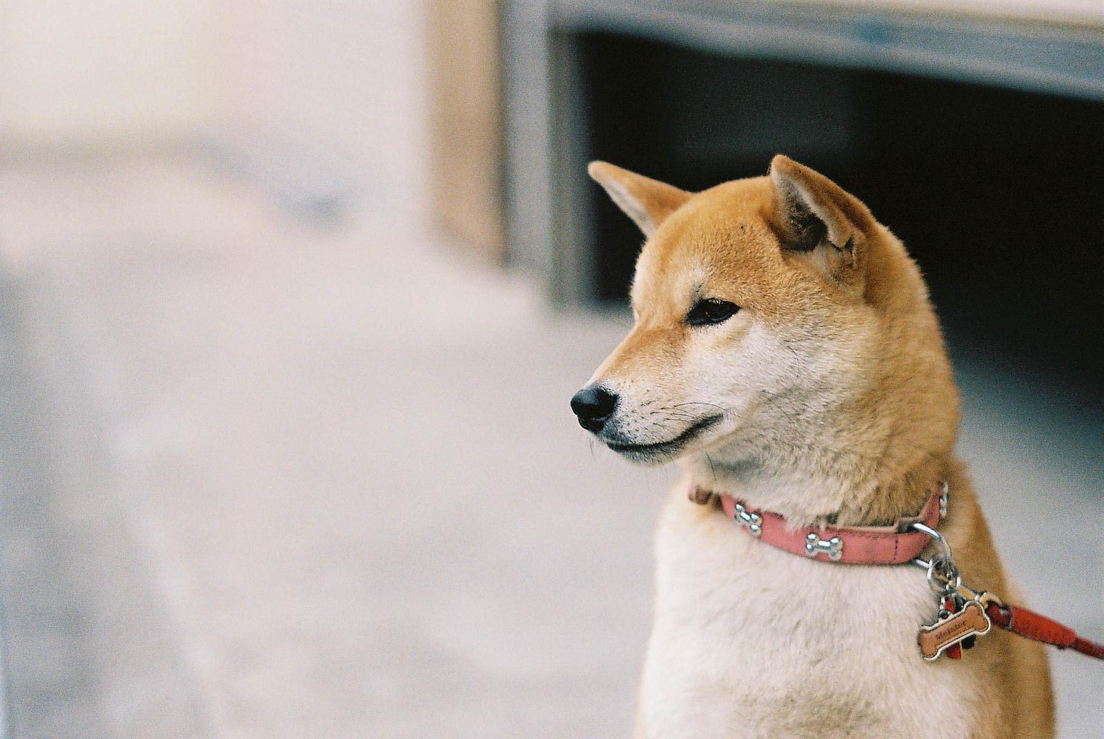 柴犬の画像 p1_37